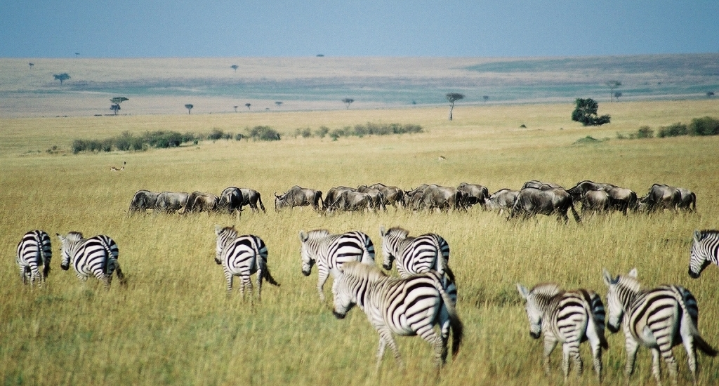 raydol masai mara zebras