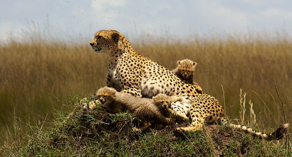 Raydoll Amboseli Cheetah with cubs Kenya
